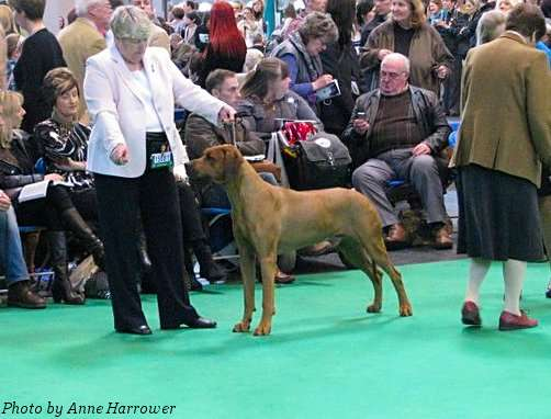 Maestro - Winner of Veteran Dog at Crufts 2011